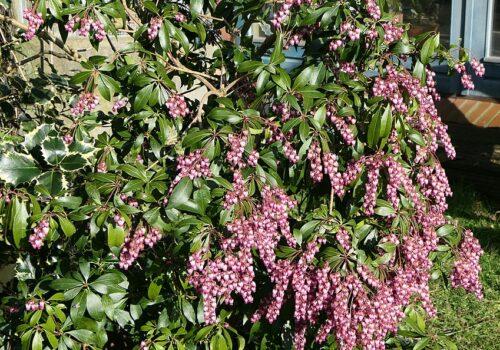 849px-Pieris_japonica_-_Lavendelheide